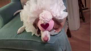 Dog Plays Dead in Elizabethan Ruff:  Cute Dog Maymo