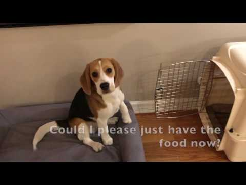 Waiting for dinner, with funny captions by Oliver the beagle