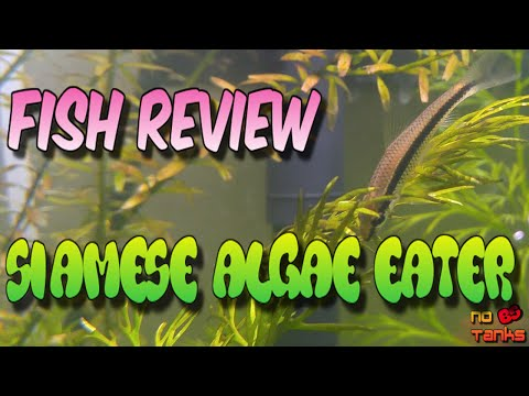 You Should Know: Siamese Algae Eater