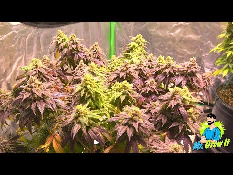 CANNABIS HARVEST REPORT! – INDOOR MEDICAL MARIJUANA