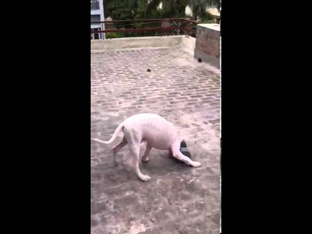 Pakistani bully kutta doing workout Travel Video