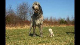 #195 SCOTTISH DEERHOUND  | Which Dog Should I Get? Dog Breed Selector