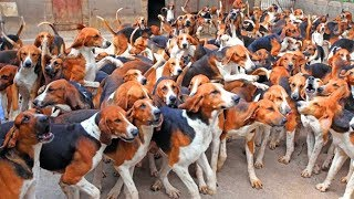 Охотничьи собаки породы ШЕВЕРНИ (Франция) Hunting dogs breed Cheverny (France).