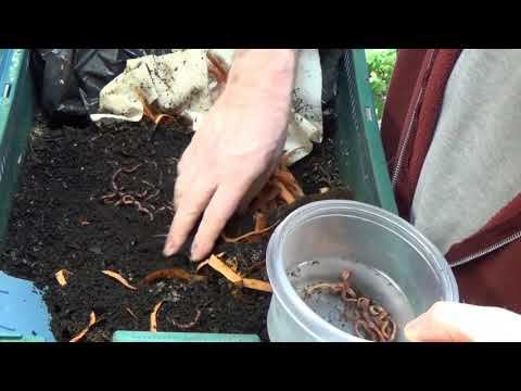 Earthworms Nearly FREE Fish Food