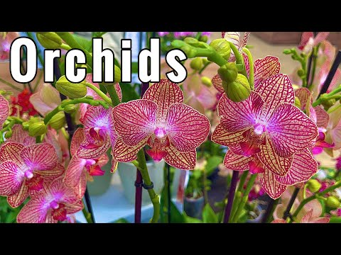 GROWING ORCHID FLOWERS