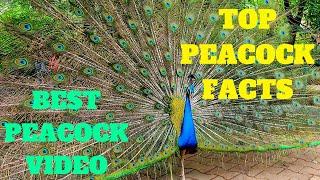 Best Peacock Video Ever   Indian Peacock Dance   Karanji Lake Mysore