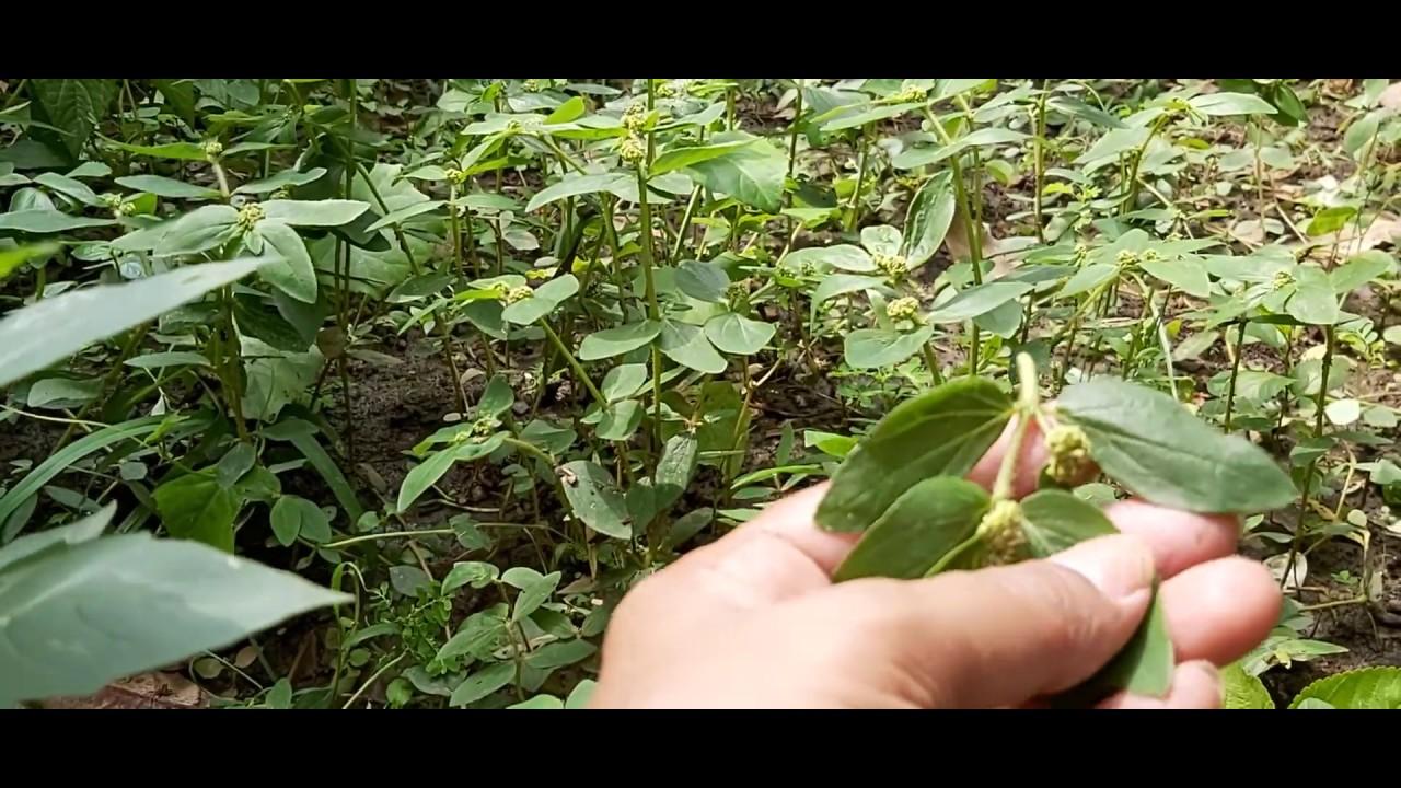 Download Harita lal dudhi herbal plant#medicinal#The largest genus of family Euphorbiaceae