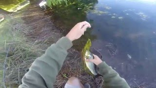 livetarget in action hollow body sunfish 1