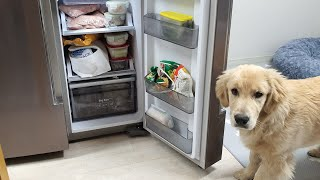 진짜로 냉장고를 열 수 있는 골든리트리버 ?!