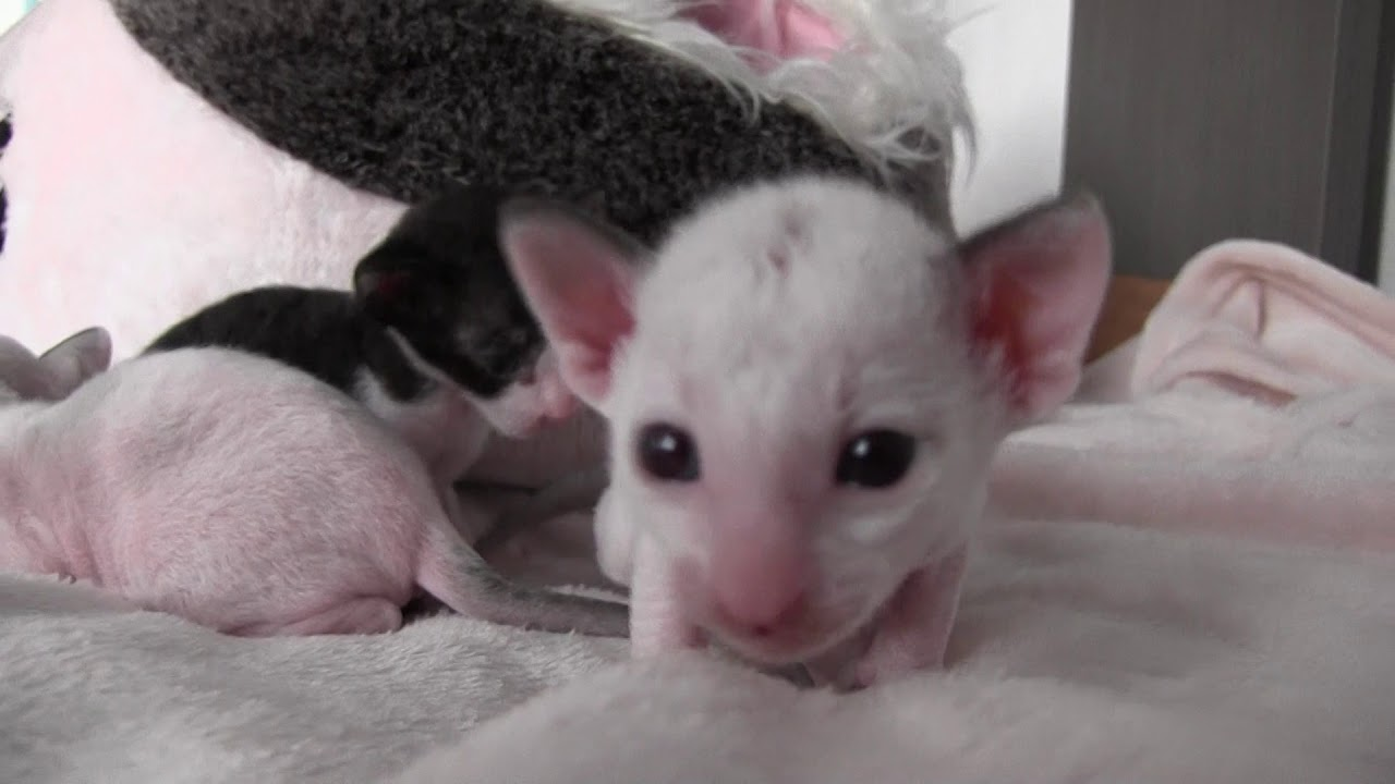 Cornish Rex Kittens are two weeks old so cute