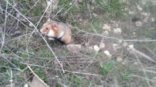 Хомяк карбыш hamster