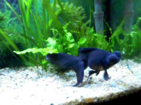 Black Moor Goldfish 17 Cm