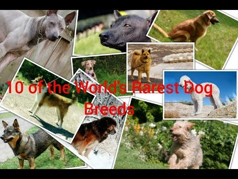 |10 of the World's Rarest Dog Breeds| #Rarestbreeds #doglover