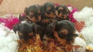 Йоркширский терьер | Рождение щенков | Щенки от рождения до 1,5 месяцев