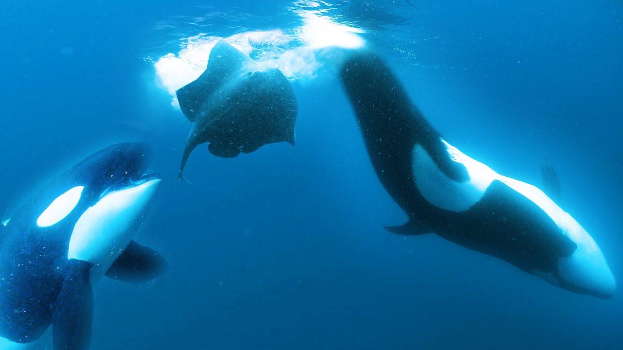 Orcas Slap Stingray with Tail