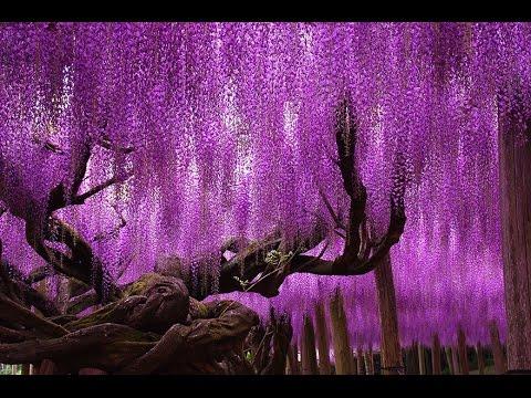 Unbelievably Beautiful 144 Year Old Japanese Wisteria HD 2014 HD