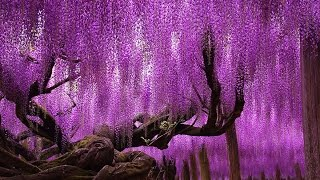 Unbelievably Beautiful 144 Year Old Japanese Wisteria HD 2014