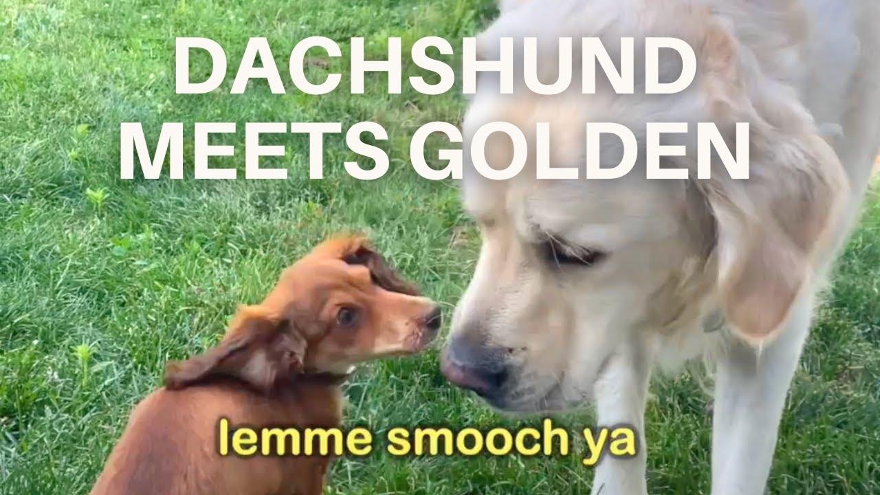 Golden Retriever Meets Miniature Dachshund Puppy