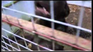 Welsh Puppy Dealer Huw Thomas uncovered.avi