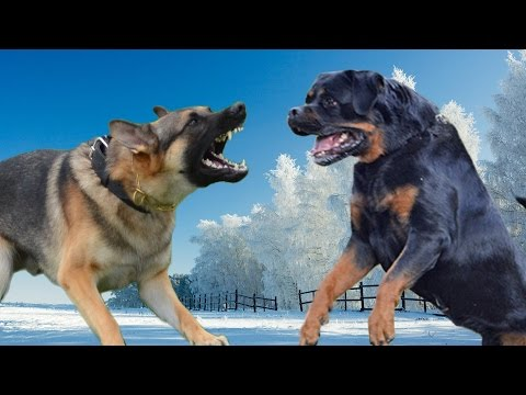 german-shepherd-vs-rottweiler-kings-of-the-dogs