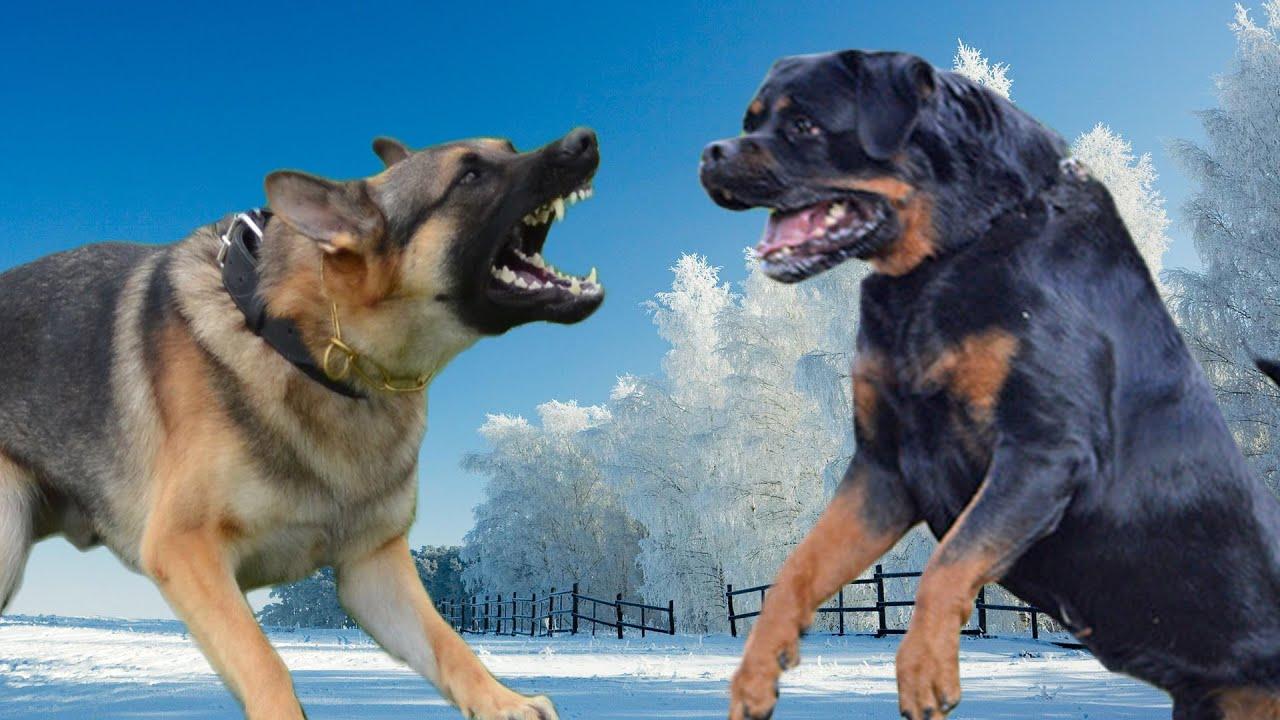 German Shepherd vs Rottweiler Kings of the Dogs - YouTube