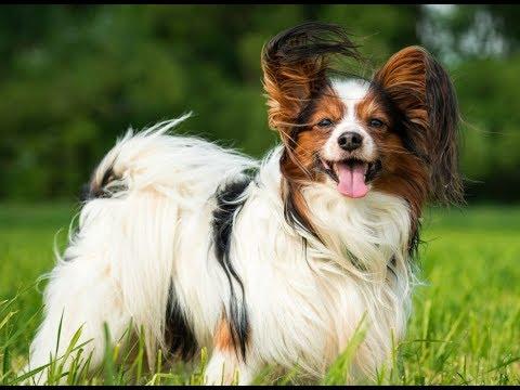 Smartest Dog Breeds - Most Intelligent Dogs   FunnyDog.TV