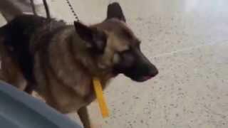 Available For Adoption: Mylo, Washington German Shepherd Rescue (wgsr)