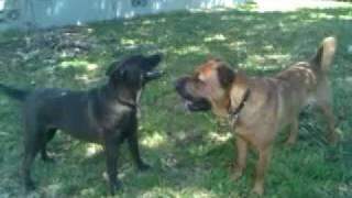 Shar Pei Dog Fight