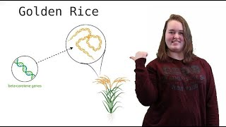 Geneducation#12: Golden Rice, an example of gene editing in agriculture