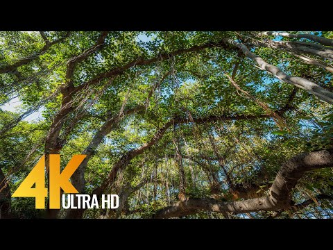 4k-hawaiian-forest---lahaina-banyan-tree---3-hour-bird-signing-for-relaxation-and-stress-relief