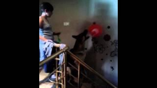 Balonla paslasan kopek