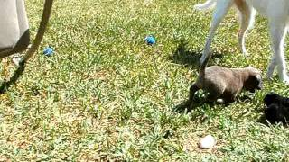 6 Week Old Lab And Pit Bull Mix Puppy Playing In The Yard With My Dogs And A Stuffed Toy