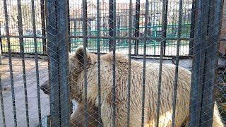 Бурый медведь видео. Видео про бурого медведя