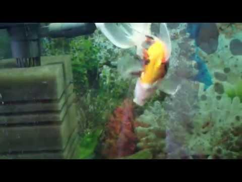Вопрос: Как вылечить водянку у золотой рыбки?