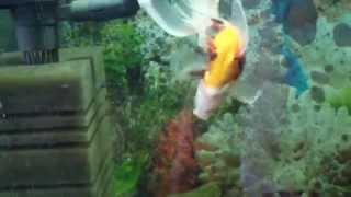 золотая рыбка плавает вверх брюхом. Как помочь?