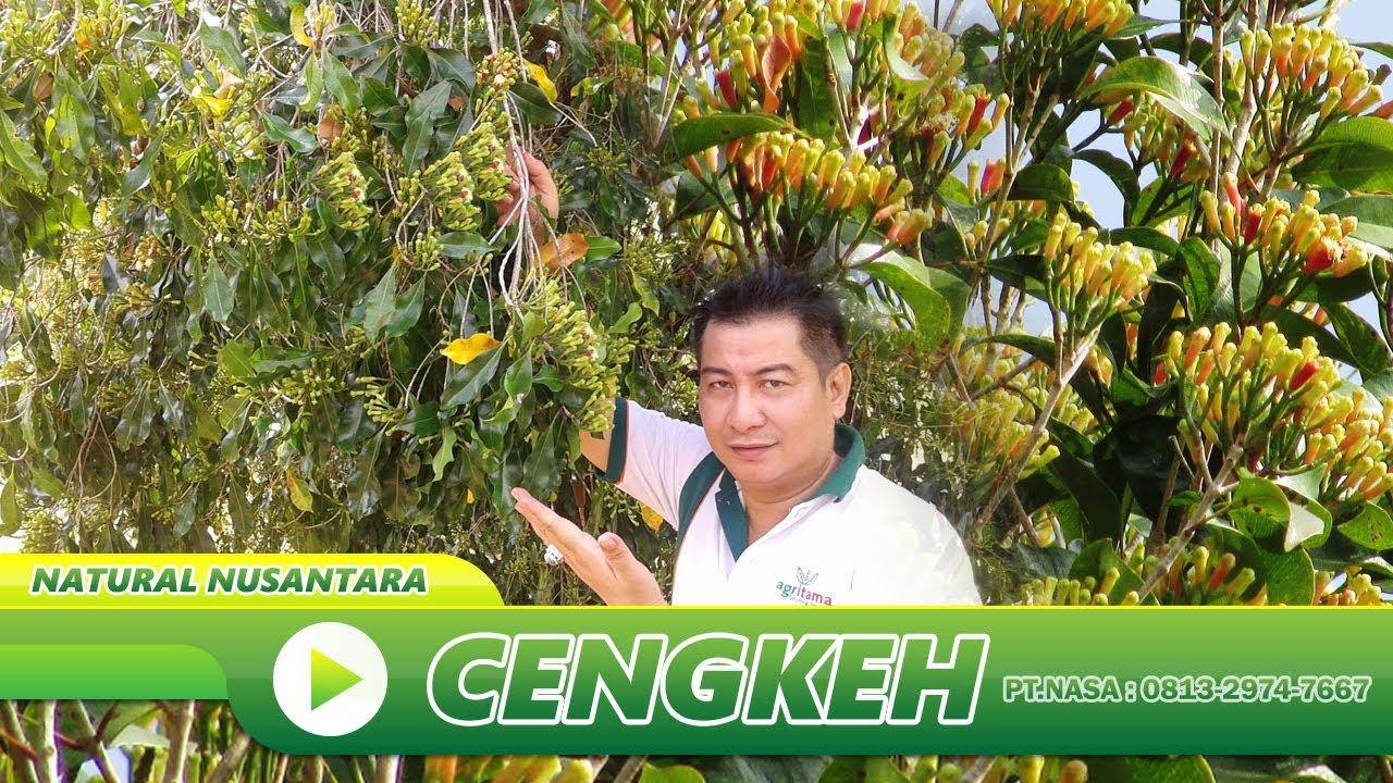 Cara menanam dan pemupukan tanaman cengkeh petani sukses