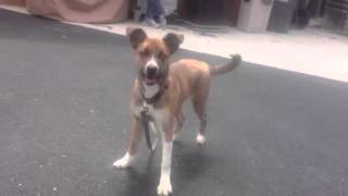 Holly!  - Adoptable Boxer/husky Mix At Arf!