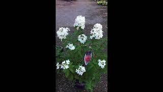 видео Hydrangea paniculata Diamant Rouge