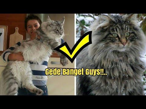 Inilah 4 Ras Kucing Terbesar di Dunia, Nomor 3 Mirip dengan Bayi Harimau