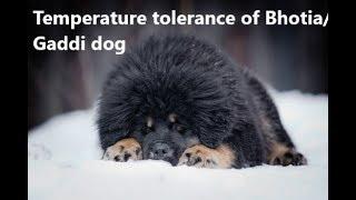 Can a gaddi/ bhotia dog handle hot weather of Delhi, Mumbai?? thumbnail