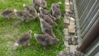 Серые гуси едят траву и ростут не по дням а по часам 23 марта.