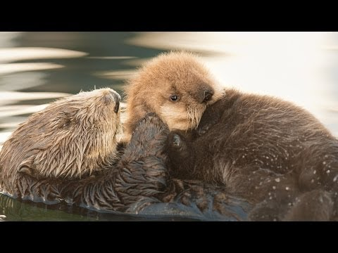 Sea Otter Orphan Gets Adopted
