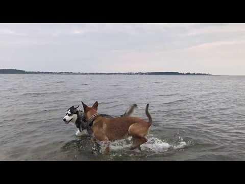 Beach Dogs - Belgian Malinois & Siberian Husky