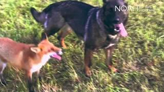 NOAHs Fakkeltog mot Pels - 2013: Reven og hunden
