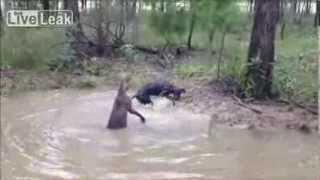 Kangur vs Pies