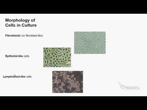Cell Culture And Cell Lines Basics