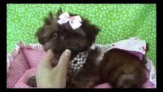 "Shih Tzu Puppy ""moxie"" For Sale Adorable Akc With Baby Doll Face"