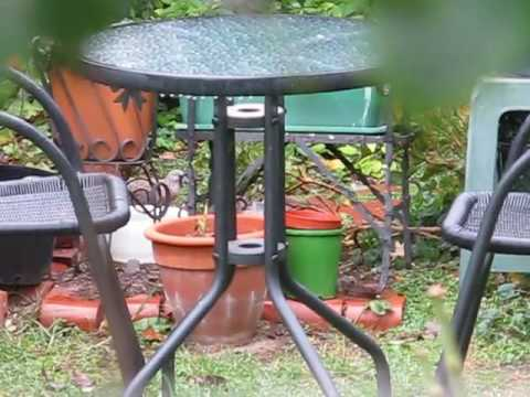 Spotted Doves & Crested Pigeons feeding in neighbour's yard 22 05 2016 MVI 1483