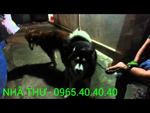 BIÊN HÒA : PHỐI ALASKA MALAMUTE - 0965.40.40.40