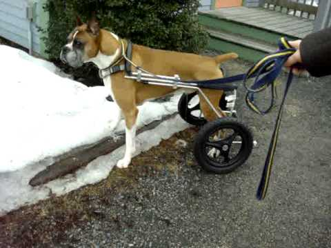 Wheel Chairs For Dogs Animal Rocking Chair Can Urinate In A Dog Wheelchair Youtube